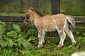 Falabella foal.jpg