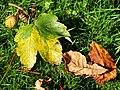 Fallen leaves, Belfast - geograph.org.uk - 1480361.jpg