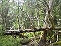 Fallen trees on Stäketön - panoramio.jpg