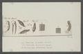 Fasciola platessae - - Print - Iconographia Zoologica - Special Collections University of Amsterdam - UBAINV0274 105 13 0017.tif