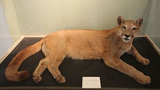 British big cats - This puma was captured in the wild, in Inverness-shire, Scotland in 1980. It is believed to have been an abandoned pet. It lived the rest of its life in a zoo. After it died it was stuffed and placed in Inverness Museum.