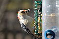 Female Red-bellied Woodpecker (Melanerpes carolinus) (11917894655).jpg