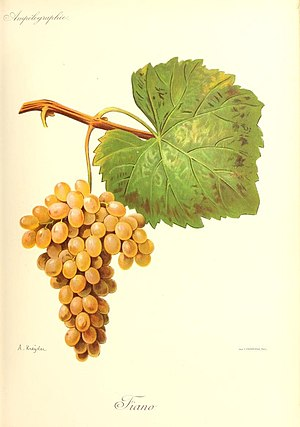 Fiano (grape) - Image: Fiano