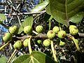 Ficus ingens, vye, Eugene Marais Park, a.jpg