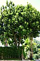 Ficus lyrata (Árbol lira) (14557600356).jpg