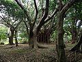 Ficus microcarpa in Shikina Garden 2.JPG