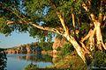 Ficus sycomorus10.jpg