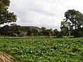Field of (probably) mangold-wurzels, Farnley Tyas - geograph.org.uk - 564889.jpg
