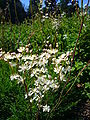 Filipendula vulgaris 'dropwort' 2007-06-02 (flower).JPG