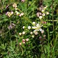 Filipendula vulgaris Bobrovnya1.JPG