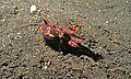 Flamboyant Cuttlefish (Metasepia pfefferi) (6059288111).jpg