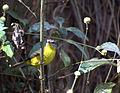 Flickr - Dario Sanches - PULA-PULA (Basileuterus culicivorus) (2).jpg