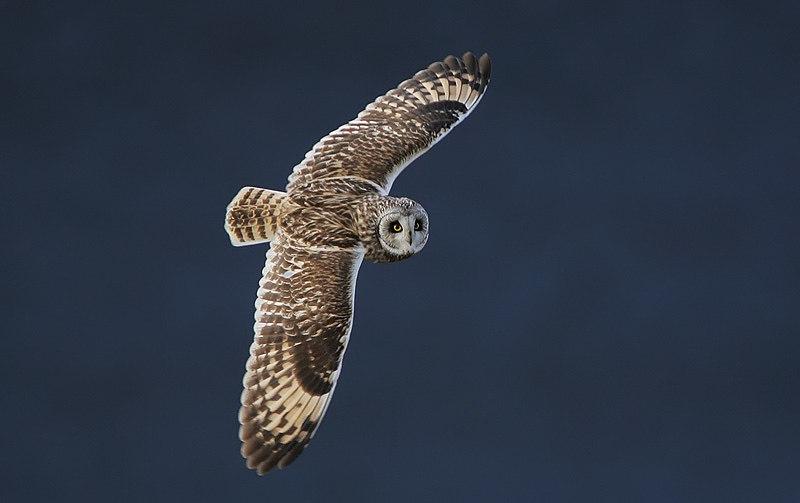 Flickr - Rainbirder - Short-eared Owl (Asio flammeus) (1)