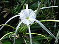 Flickr - brewbooks - Hymenocallis littoralis - Spider Lily.jpg