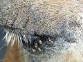 Flies on horse eye in june.jpg