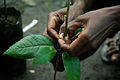 Flora Kebu grafting a Cocoa seedling at Kebu farm east of Honiara. (10695704685).jpg