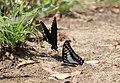 Flora and fauna of Chinnar WLS Kerala India (26).jpg