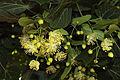 Flores del tilo (17513722184).jpg