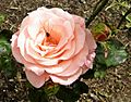 Floribunda - Cherish 015 (crop).JPG