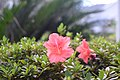 Florida azalea flowers - 1.jpg