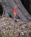 Flower, Sutro Park, San Francisco (35452687742).jpg