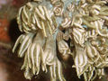 Flower Soft Coral (Xeniidae) (Night Close up).png