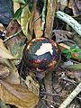 Flower bud of Rafflesia tuan-mudae (8058799913).jpg
