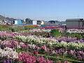 Flower farm at Shiramazu, Chikura, Minami-bousou, Chiba.JPG