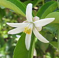 Flower of Citrus jambhiri (8350037018).jpg