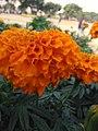 Flower of uog2.jpg
