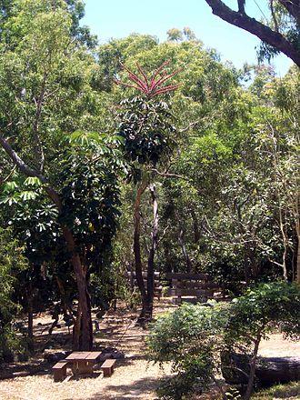 Schefflera actinophylla - Schefflera actinophylla in the Cooktown Botanic Gardens, Queensland