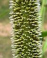 Flowering pearl millet (4545169813).jpg