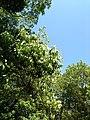 Flowering trees - panoramio (4).jpg