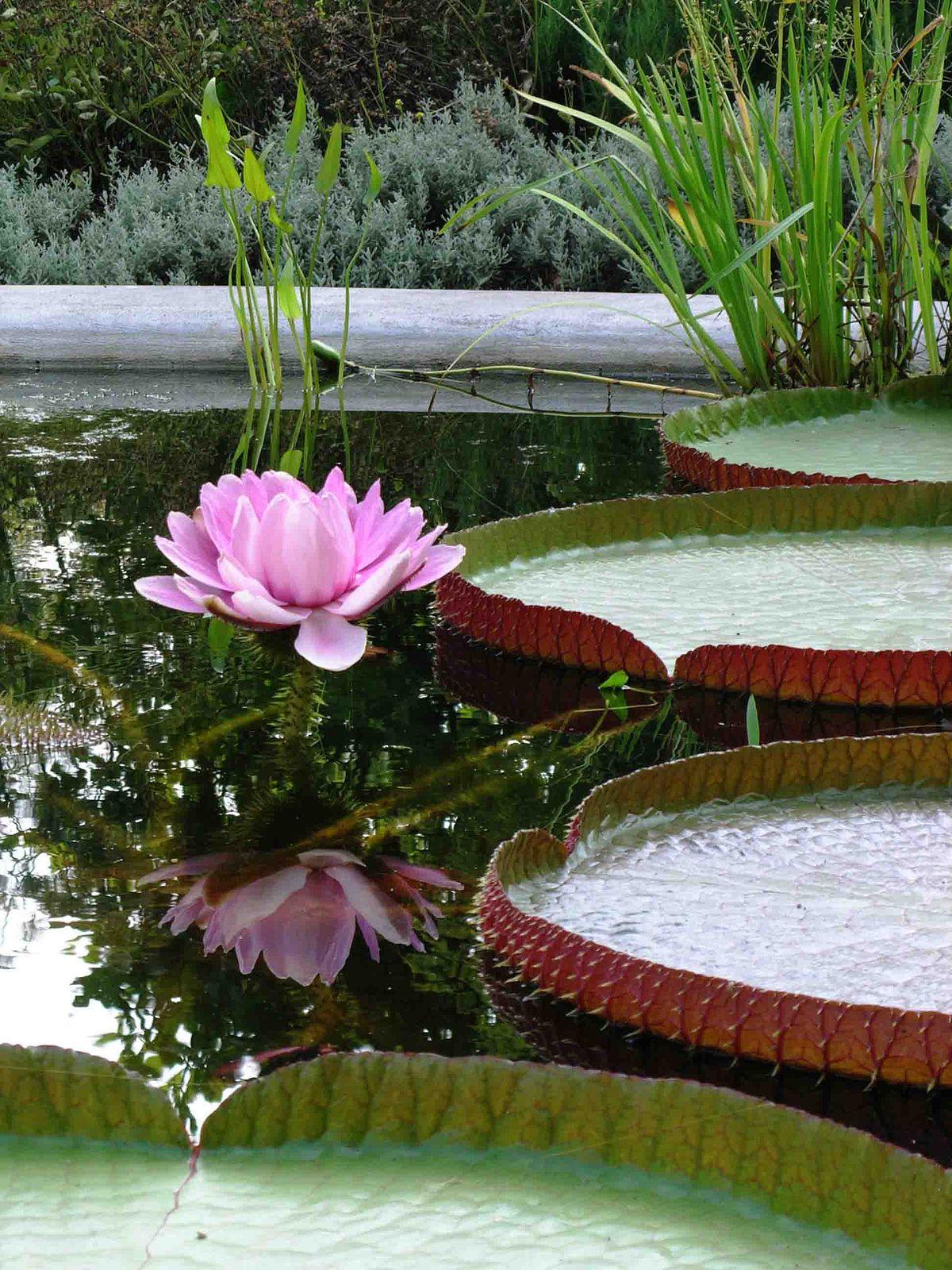 Victoria planta wikipedia la enciclopedia libre for Hierba jardin