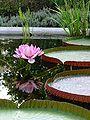 Flowering victoria.jpg