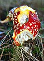Fly Agaric - geograph.org.uk - 581925.jpg