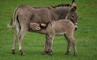 Donkey milk Milk produced by female donkeys