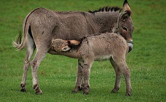 Donkey milk - Equus asinus