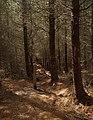 Footpath through conifers - geograph.org.uk - 491553.jpg