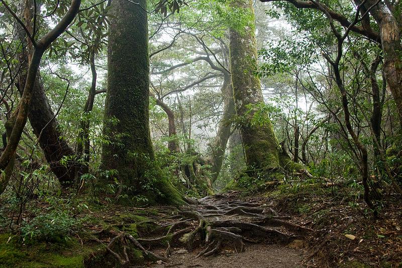 800px-forest_in_yakushima_55
