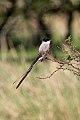 Fork-tailed Flycatcher (Tyrannus savana) (8077656942).jpg