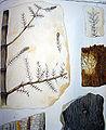 Fossile Schachtelhalmgewaechse.JPG