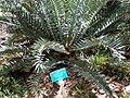 FosterGarden-Encephalartos-horridus.JPG