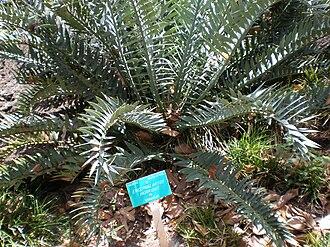Foster Botanical Garden - Image: Foster Garden Encephalartos horridus