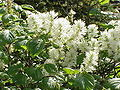 Fothergilla major4.jpg
