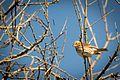 Fox Sparrow (Passerella iliaca) (22591136454).jpg
