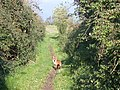 Fox on the path - geograph.org.uk - 593560.jpg