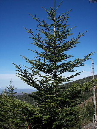 Fraser fir - Fraser fir on the Slopes of Clingmans Dome