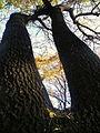 Fraxinus angustifolia (9).JPG