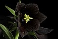 Fritillaria camschatcensis (L.) Ker Gawl., Bot. Mag. 30 t. 1216 (1809) (49974424982).jpg